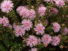 Melaleuca squamea - Pink Paperbark  20+ seeds