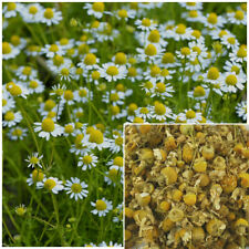 Chamomile Flowers, organic, soap making supplies, herbal extracts.