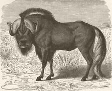 UNGULATES. White-tailed wildebeest  1894 old antique vintage print picture