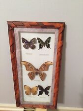 Framed Butterfly and Moth Collection Taxidermy