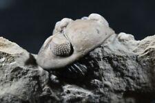 Rare Acernaspis orestes Silurian Trilobite Fossil Quebec Paleozoic Enrolled