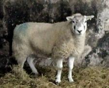 HERDWICK CROSS TEXEL SHEEP FLEECE RAW UNWASHED WOOL FULL FLEECE
