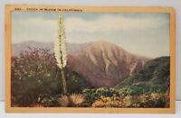 Yucca in Bloom in California Postcard A4