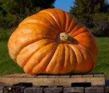 V177 Pumpkin Atlantic Giant x5 seeds Huge Heirloom Sweet Garden Show Vegetable