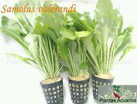 PLANTA DE ACUARIO: SAMOLUS VALERANDI 3 MACETAS COMPLETAS envio gratis