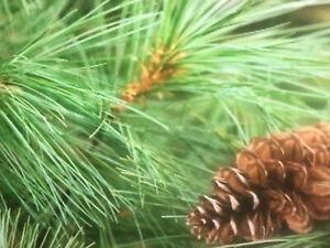 GEORGIA MOUNTAIN QTY-30-GROWN-WHITE-PINE-6-8-INCH-STARTER-TREE-SEEDLING #SHCC