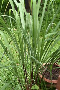 Duft-Samen Rarität seltene Pflanzen schnellwüchsig ZITRONENGRAS