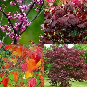 Cercis canadencis Forest Pansy - North American Redbud Tree - approx 5L pot