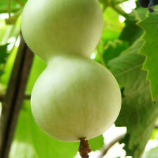 6 White Jade Bottle Gourd Seeds Lagenaria Siceraria Organic Vegetables