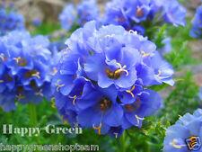 JACOBS LADDER - 300 SEEDS - Polemonium Caeruleum - Perennial Flower