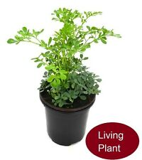 Common Rue (Ruta graveolens) Herb of Grace, Ruda Live Plant