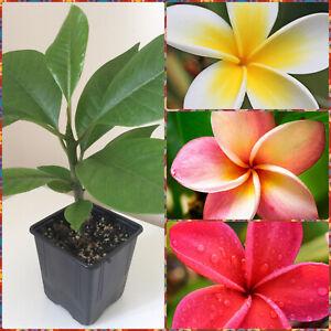 Plumeria rubra, FRANGIPANI   Tropical Plants, 8-30cm Stem, in 9cm Pot   UK Grown