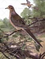 PAINTING ANIMAL MOURNING DOVE 1915 BIRDS WINTER HORSFALL FINE ART PRINT CC500