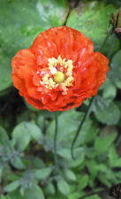 1000 Double Shirley Poppy Mix Papaver Rhoeas Mixed Colors Red Salmon White Seeds