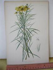 Vintage Print,HELENIUM TENUIFOLIUM,Prang,Native Flowers+Ferns,Meehan,1879