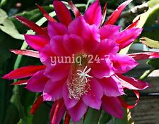 "(1) Epiphyllum ~ CUTTING~ 8"" Orchid Cactus Succulent X-Large Purple-1 Stem"
