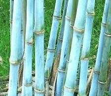 Ein sehr pflegeleichter Bambus für den Blumentopf oder den Garten !