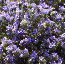 Echium Azul Cama aprox 240 semillas - Hoja RESISTENTE ANUAL
