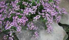 Soapwort'Saponaria Ocymoides' Rose·Pink🌸50+Seeds🌠¸Perennial·Herb·Bees·Bu tterfly