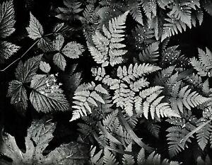 1950s Vintage ANSEL ADAMS Fern Leaf Forest Botanical Photo Gravure Art 11x14