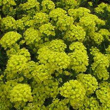 Alyssum montanum 'Mountain Gold' / Hardy Perennial / 100 seeds