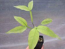 "1 Plant 12"" TALL Genip Spanish Lime Mamoncillo Melicoccus bijugatus Quenepa"