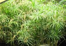 4 Umbrella Plants~Cyperus alternifolius~Aquatic Plants~ Keep Pond Water Cleaner!