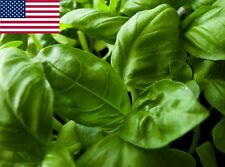 Basil Herb Seeds- Italian Large Leaf- 500+  2019 Seeds  $1.69 Max Shipping/order