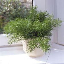 House Plant - Asparagus sprengeri - 10 Seeds