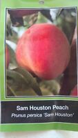 4'-5' SAM HOUSTON PEACH Tree Live Healthy Trees Fruit Garden Plant Home Peaches