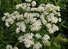 Bastarde millefoglie 6000 semi, Achillea Millefolium, pianta di guarigione