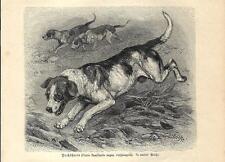 Stampa antica CANI PER LA CACCIA ALLA VOLPE 1891 Antique print dogs