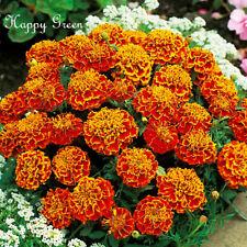 MARIGOLD - HONEYCOMB - 350 seeds - Tagetes patula nana -Double bicolor flower