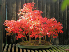 "10x fresh seeds Japanese Maple "" Artropurpureum "" Acer palmatum bonsai tree"