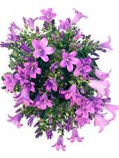 Glockenblume blau-lila - Pflegeleichte, winterharte und bienenfreundliche Staude