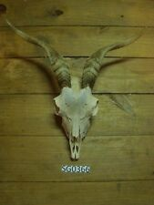 Nice goat skull wildlife rustic decor hill country outdoors Sg0366