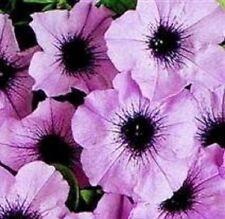 Petunia - Mirage Plum Crystal - 50 Seeds