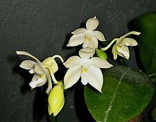 Phalaenopsis tetraspis v. alba species Orchid Plant - 4 spikes
