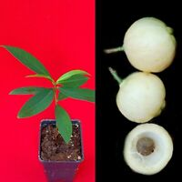 Rose Apple Syzygium Jambos Fruit Tree Starter Potted Plant