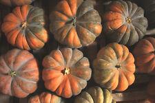 PUMPKIN 'Musquee De Provence' 5 seeds RARE vegetable garden HEIRLOOM unusual