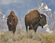 METAL REFRIGERATOR MAGNET Two American Bison aka Buffalo Travel Wyoming USA
