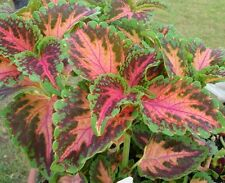 50+ Coleus Wizard Coral Sunrise Shade Loving Flower Seeds / Annual / Great Gift