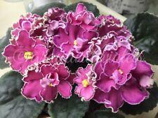 African VioletSister'S Secrets - Starter Plant