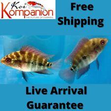3/5/10X Red Dragon Flowerhorn Aquarium Koi Kompanion Free Shipping