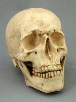 Life-Size Aged Two Piece Harvey Skull Model, NEW Skulls
