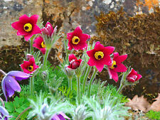 PASQUE FLOWER RED Anemone Pulsatilla vulgaris -70 seeds - ALPINE PERENNIAL
