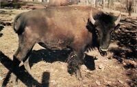 Rockville~Parke County Indiana~Gobblers Knob Zoo Farm~Buffalo~1960s Postcard