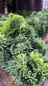 Muschelzypresse Chamaecyparis obtusa mNana Gracillis ca. 20 cm