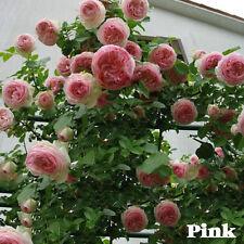 100PCS 8 Variety Climbing Rose Seeds Rose Multiflora Perennial Fragrant Flower.