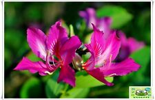 10 seed Bauhinia purpurea Orchid Tree Purple Orchid  Butterfly wings are rare.